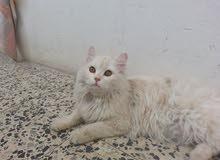 قطة شيرازي، اودنجا ايراني