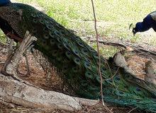 طاووس ديل كامل وجميل مع عدد اثنان من الاناتي  للبيع
