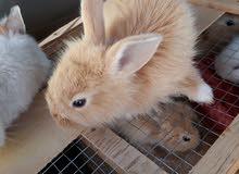 أرانب هولندية صغيرة للبيع في محل إبتهاج السيب لطيور الزينة ومستلزماتها سمائل
