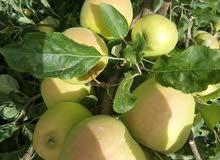 تفاح انتاج محلي