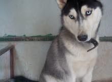 كلب هاسكي للبيع بحاله جيدة عمر 8 شهور مطعم جميع مطلعيم