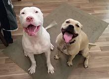 تدريب جميع انواع الكلاب طاعه وشراسه