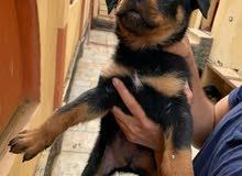 Rottweiler 3 شهور