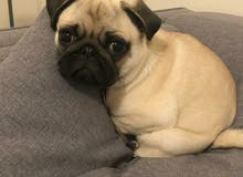 Adorable pure pug puppy available limited offer