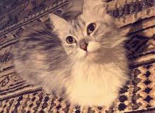 قطه شيرازيه امريكي