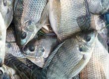 اسماك الخزان كل ما يخص انواع السمك البلدي
