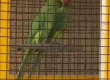 Indian parrots male and female with cage and food