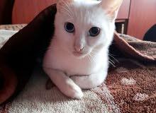 قطة للبيع عمرها 4 اشهر