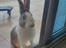ارنب ذكر للبيع
