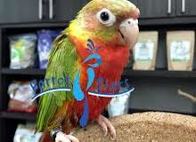 looking for confirm breeding pair conures