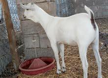 سلالة الماعز الصومالي