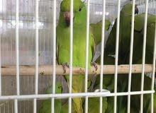 طيور وسلاحف وقطط للبيع