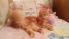 قط شيرازي للبيع عمرها سنه