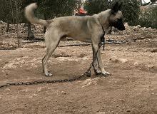 كلب للبدل فقط