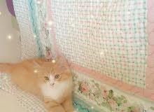 قط شيرازي العمر شهرين