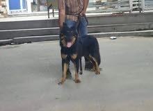 كلب جيرمن للبيع السعر 4وراق
