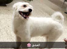 كلب تيرير للبيع العمر سنه و3 اشهر