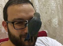 طائر (الحب) روز اليف جدا وجميل