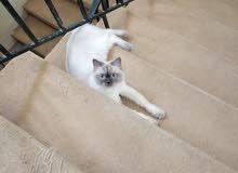 للبيع قطه همالايا مكس سيامي