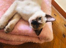 قطه النوع فارسيه سيامي