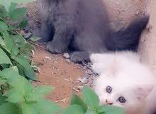 قطة شيرازي بحالة جيدة للبيع