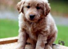 Wanted Golden Retriver Puppy مطلوب قولدن