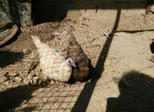 ديجين ودجاج فتل دجاجتين كوجن العداد 5