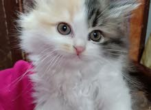 قطط بنات شيرازى للبيع