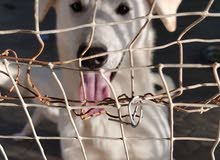 Labrador hybrid with Husky