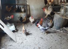 دجاج عماني الحبه ب3.500 للدجاجه الواحده والديك ب 6 ريال وقابل للتفاوض