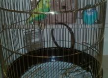 للبيع طيور حب الناتج زين