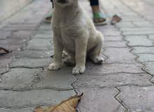 كلب جولدن صغير للبيع
