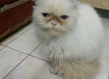 قطط هملايا ذكر وانثي حامل للبيع