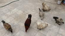 دجاج للبيع شلع مشكل