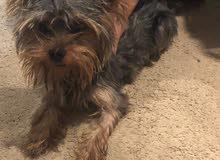 كلب وركشاير عمره 7 شهور لعوب جدا