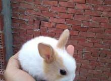 ارانب بديل القطط منزلي
