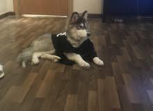 كلب الاسكا عمره 6 شهور بيور