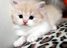 kittens turkish angora for sale