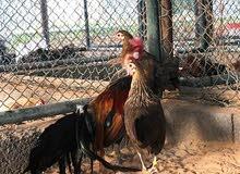 طقم دجاج فينكس