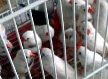 زيبرا وعصافير زيبرا للبيع لجاد