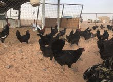 للييع 14دجاجه عربي بياض