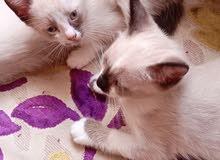قطط صيامو سنوشو