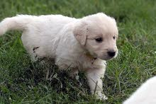 6 weeks old Original Golden Retriever Puppy with medical book to sale