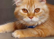 قطه أنثى للتزاوج