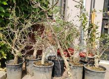شجرة البشام (البيلسان)بطول متر