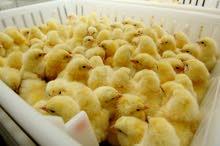 للبيع صيصان لاحم و بيض تفقيس إنتاج محلي من مزارع مرخصة