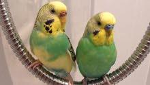 طيور حب متنوعه