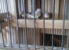طيور جنه خمس جواز للبيع بدون قفص