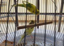 طيور الحب ( زوجين ) مع القفص