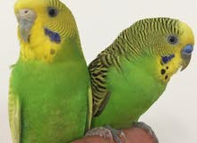جوز طيور البادجي اليف